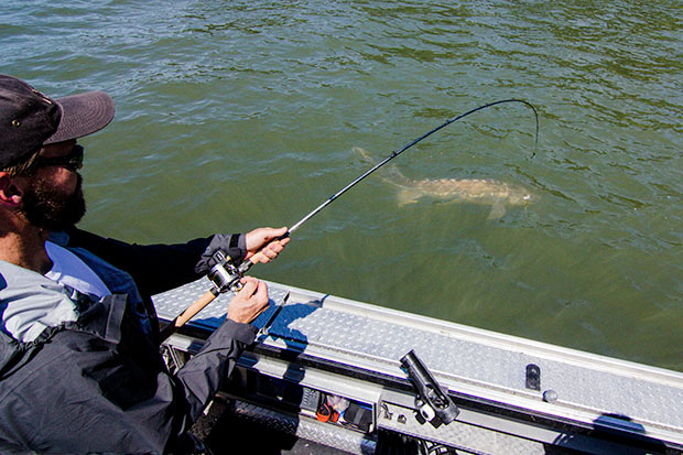 A large oversize sturgeon being reeled in close to the boat.