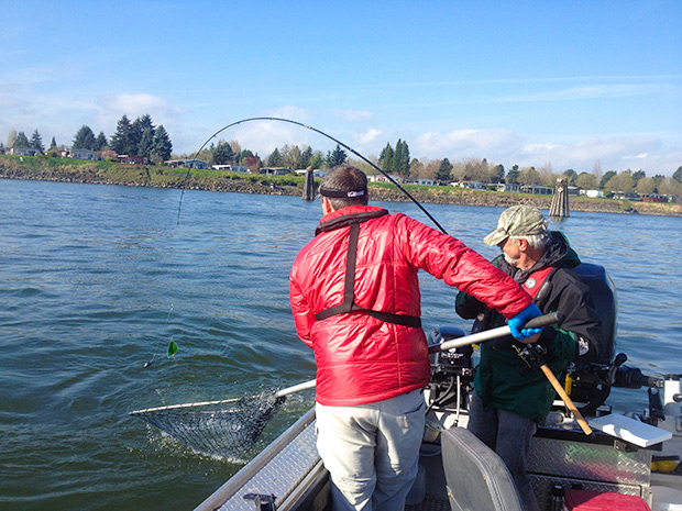 Lower columbia spring chinook salmon for Columbia river fishing guides