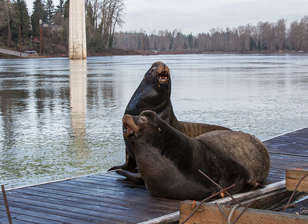 Two Willamette River Sea Lions sitting on a dock in Oregon City