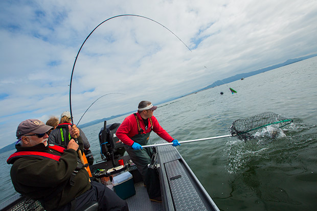 A Salmon being netted by guide Lance Fisher at Buoy 10