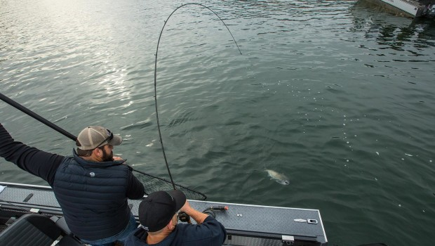 A Columbia River Salmon about to have a net put under it with guide, lance fisher