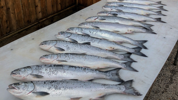 A dozen beautiful coho salmon