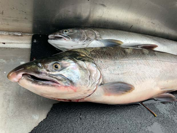 Coho Salmon Double on the Columbia River