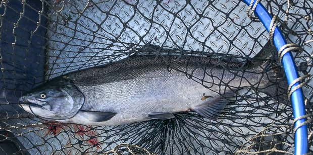 Chinook Salmon on the Lewis River